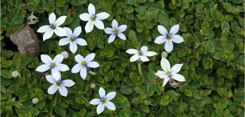 Blue Star Creeper Isotoma Spp
