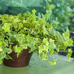 Hedera helix 'Gold Baby'