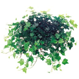 Hedera helix 'Ideal'