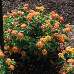 Lantana camara 'Bandito Orange Sunrise'