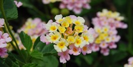 5 Reasons to Love Lantana