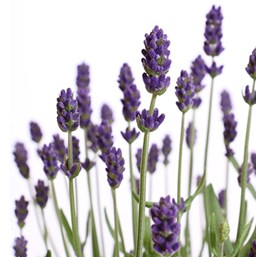 Lavandula angustifolia 'SuperBlue'