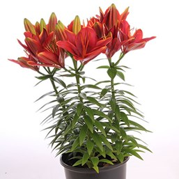 Lilium	'Tiny Rocket'