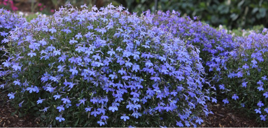 Annual blue lobelia is a perfect flower for garden beds, borders, and container gardens