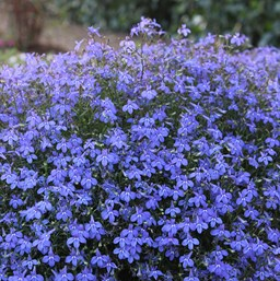 Lobelia Annual Costa Farms