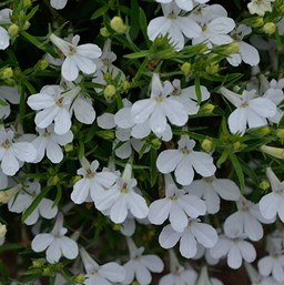 Lobelia erinus 'Hot Snow White'