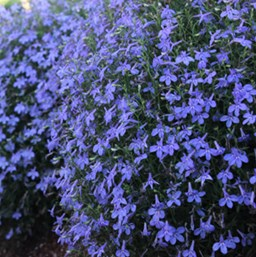 Lobelia erinus 'Hot Water Blue'
