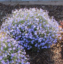 Lobelia erinus 'Techno Heat Upright Light Blue'