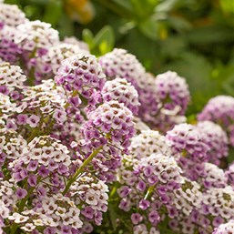 Lobularia 'Blushing Princess'