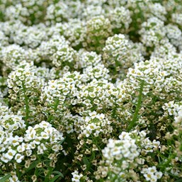 Lobularia YOLO Top White