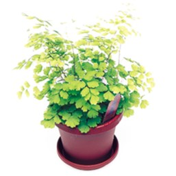 Delta Maidenhair Fern