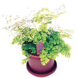 Rosy Maidenhair Fern