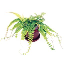 Weeping Maidenhair Fern
