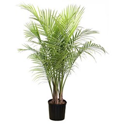ravenea plant care with Palm Houseplant on Ravenea as well Knit Baby Blanket Squares Pattern moreover 119978777545385096 together with Majesty palm moreover House Plant Identifier Uk.