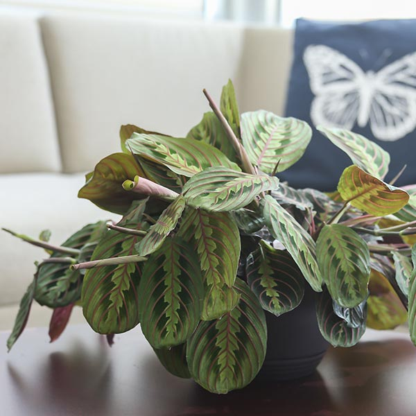 Prayer plant prayer plant amazing red prayer plant 32 red for Praying angel plant