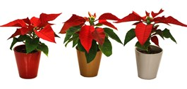 Poinsettias in Every Shape and Size