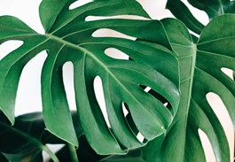 Monstera Magnetism