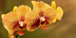 Orchids Are Perfect for Mother's Day