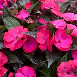Image result for new guinea impatiens