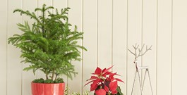Prepare for Winter with Norfolk Island Pine