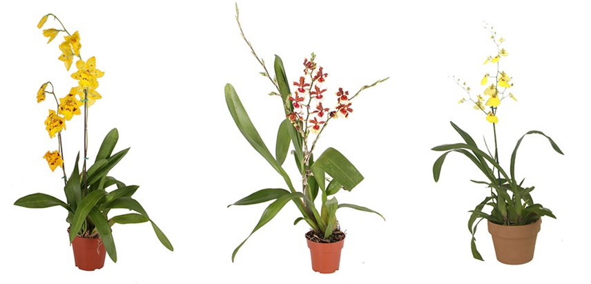 Orchid Oncidium on Shapes And Colors