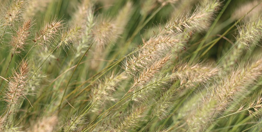 5 ways ornamental grasses make your yard better costa farms workwithnaturefo