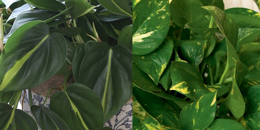 Pothos And Philodendron Twin Plants From Different