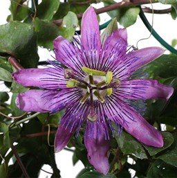 Passionflower Costa Farms