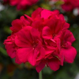 Pelargonium 'Calliope Hot Pink'