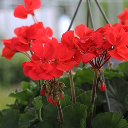 Pelargonium 'Presto Dark Salmon'