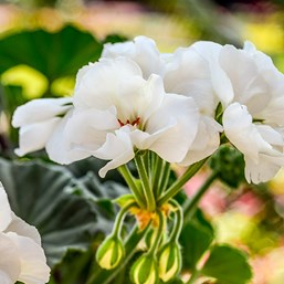 Pelargonium 'Fantasia White'