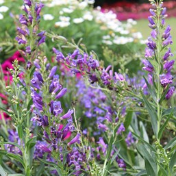 Penstemon 'Delft Blue Riding Hood'