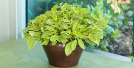 Cute and Easy Peperomia