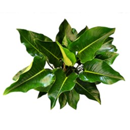 Green Congo Philodendron