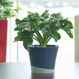 Philodendron | Costa Farms on