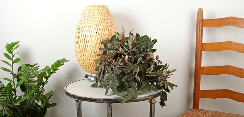 Pellionia pulchra, or Polynesian ivy, is an Exotic Angel Plants houseplant from Costa Farms