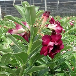 Double Desert rose