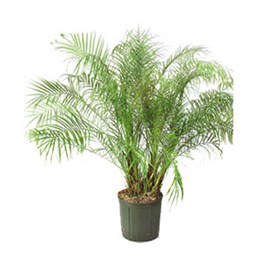 Palm, Houseplant | Costa Farms on palm indoor seeds, palm trees, palm flowers, palm shrubs,