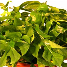 Mini Split-Leaf Philodendron