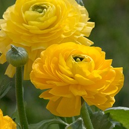 Ranunculus 'Magic Yellow'