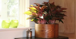 How Red Aglaonema Helped Sell My House
