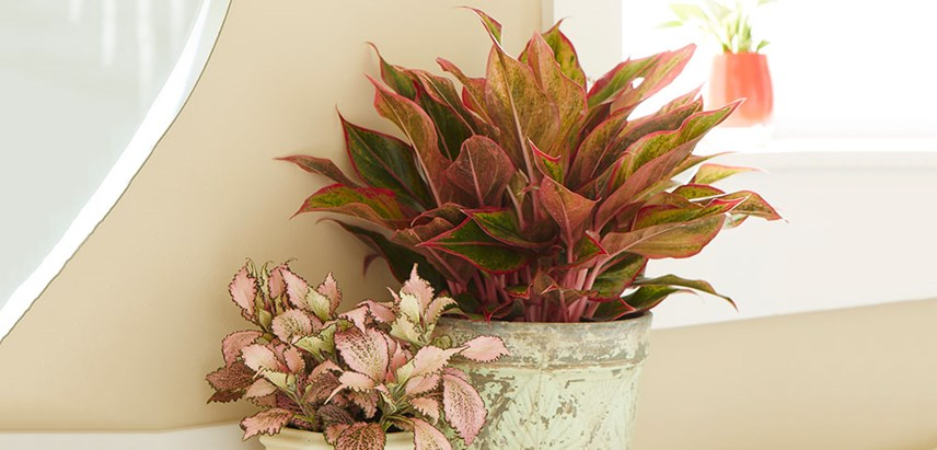 Red-Aglaonema-Hero-Costa-Farms-Houseplant Red Aglaonema Houseplants on red gerbera, red crotons, red fittonia, red house plants, red camellia, red acacia, red allamanda, red flowering plants, red narcissus, red photinia, red pineapple, red anthurium, red zebra plant, red peace lily, red tropical plants names, red angelonia, red aster, red variegated plants, red wandering jew, red anemone,
