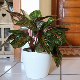 Aglaonema 'Red Emerald'