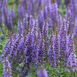 Salvia Bordeau Steel Blue