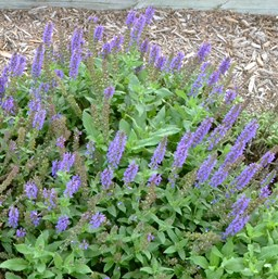 Salvia 'Salute Deep Blue'