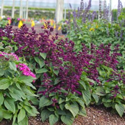 Salvia splendens 'Salsa Purple'