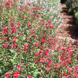 Salvia coccinea 'Summer Jewel Red'