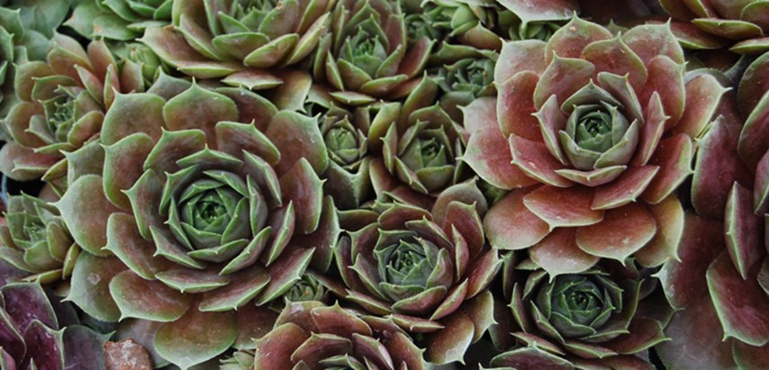 Hens And Chicks Costa Farms