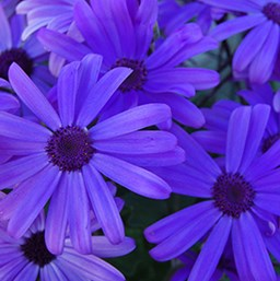 Pericallis 'Senetti Blue'