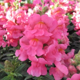 Antirrhinum majus 'Arrow Pink'